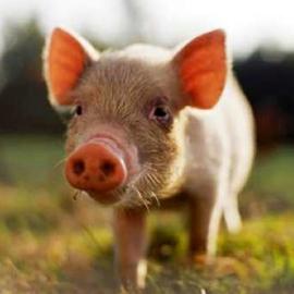 гороскоп на 2015 год для свиньи