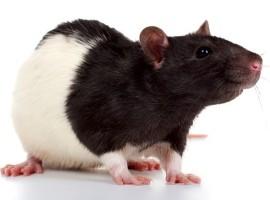 гороскоп на 2015 год для крысы