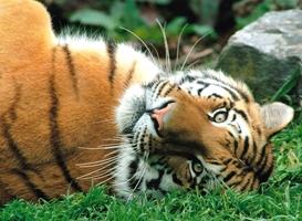гороскоп на 2015 год для тигра