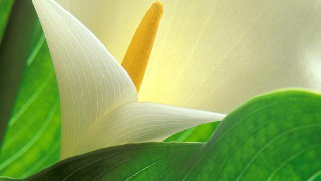 Калла и орхидея в магии для женщин: две легенды и несколько волшебных советов