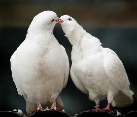 свадебные фотографии с белыми голубями