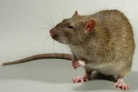 символ нового года крыса