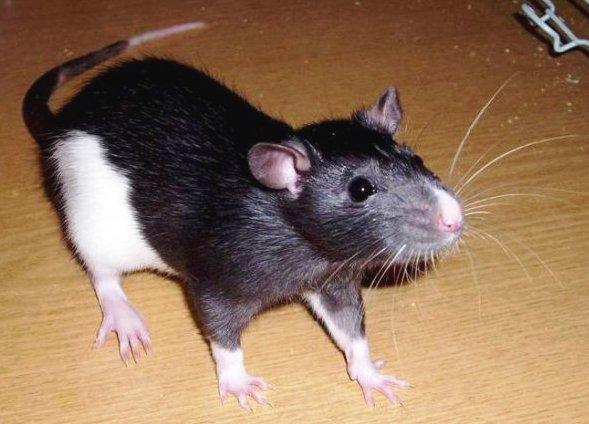 Крысы – идеальные домашние животные. Крысы декоративные