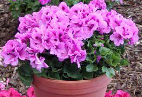 Пеларгония королевская крупноцветковая: общие сведения и правила ухода
