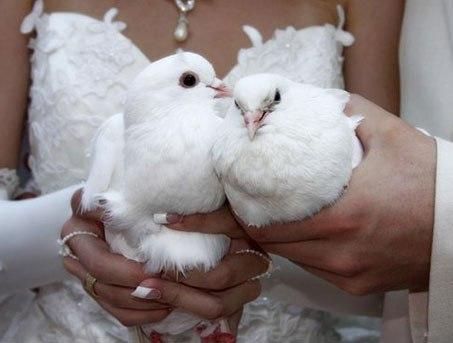 Выпускать голубей на свадьбу